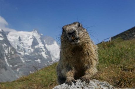 summer highlight the marmots near the Großglockner High Alpine Road | © Andreas Kolarik