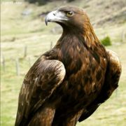 Golden Eagle a must see in the holiday region High Tauern | © Nationalpark  Hohen Tauern